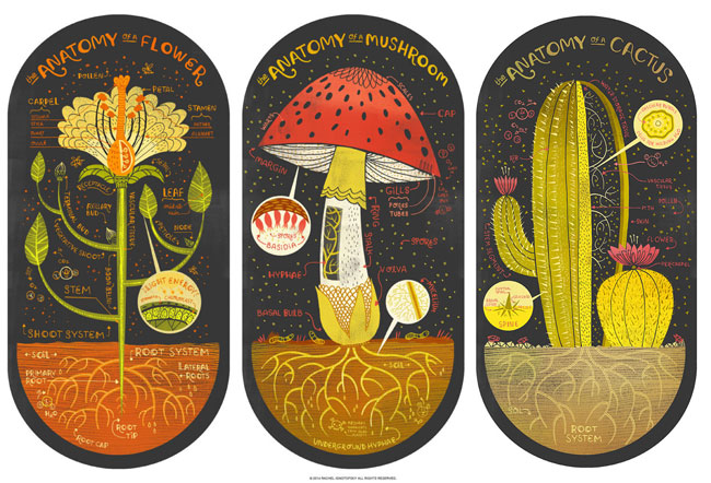 Plant Anatomy Art Prints | Rachel Ignotofsky